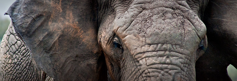 Masai Mara Elephant, Kenya