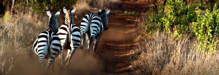 Zebror i Meru National Park, Kenya