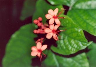 Blomma, La Digue, Seychellerna