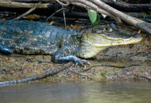 En Caiman alligator vid Rio Frio i Costa Rica