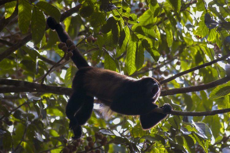 Vrålapa bland träden i Costa Rica