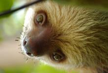Sengångare i Corcovado djungel i Costa Rica