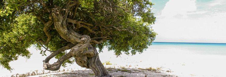 Divi träd på Eagle Beach Aruba