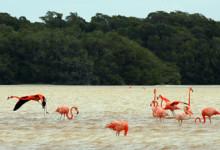 Flamingos i Celestún, Mexiko