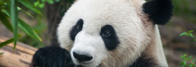 Jättepanda, Chengdu Research Base of Giant Panda Breeding