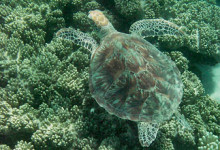 Swimming with turtle, Ocean Safari Tour