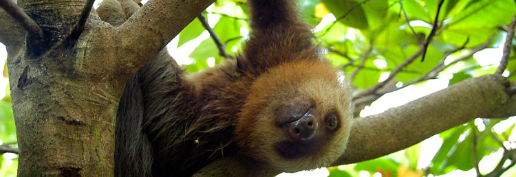 A sloth in Corcovado - Adventure nature wildlife Costa Rica