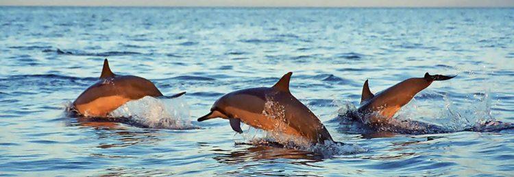 Delfiner i Lovina, Bali