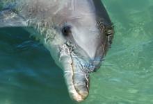 Monkey Mia delfiner