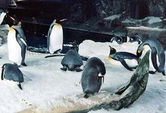 Pingviner, Kelly Tarltons Underwater World i Auckland