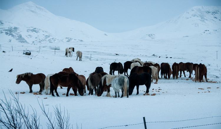 En hjord islandshästar, Island