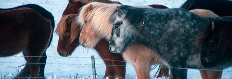 Islandshästar i närheten av Gullfoss