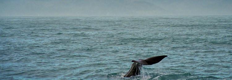 Kaskelotvalens vackra fena, Nya Zeeland