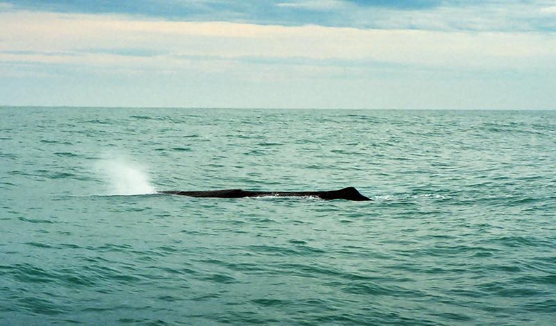 Kaskelotvalen blåser vatten, Kaikoura, Nya Zeeland