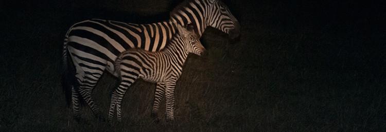 Zebra med föl under nattsafari i Masai Mara, Kenya