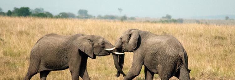 Elefanthanar slåss med sina betar i Masai Mara, Kenya