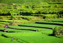 Risterasser från utsikten på Bambu Indah, Ubud Bali