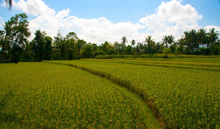 Vackra risfält vid Tukad Ubud, Bali