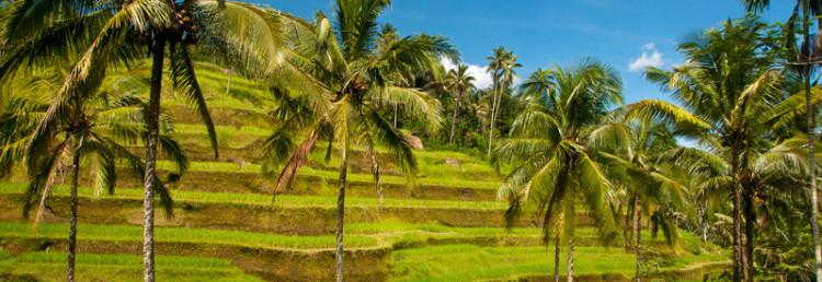 Tegallantang risterasser utanför Ubud, Bali