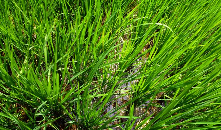 Risplantor i blöta paddies vid Tegallantang risterasser, Bali