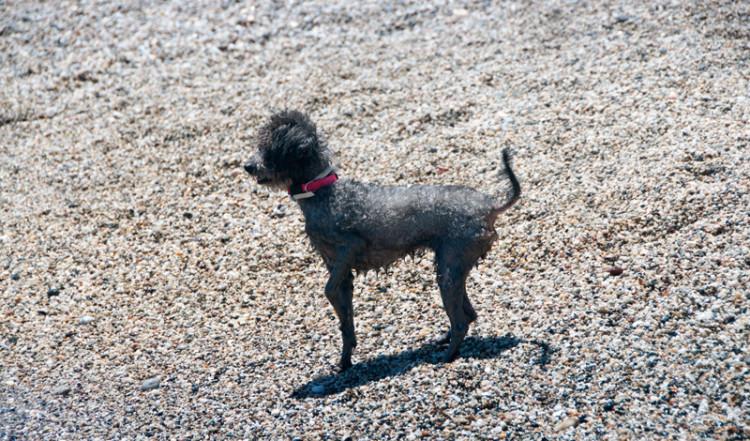 Liten hund på stranden, Punta Chullera