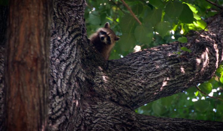 Tvättbjörn kollar ner från träd i Central Park, New York