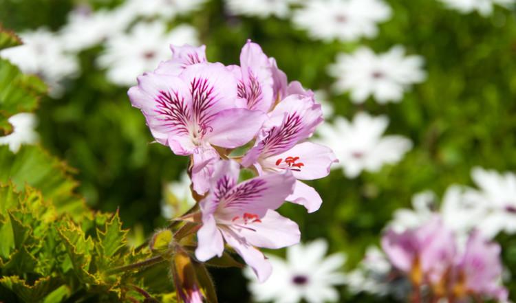 Blommor i trädgråden, Monte Vinas