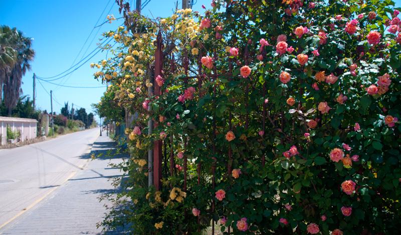 Vackra Rosor vid landsväg i Manilva, Spanien
