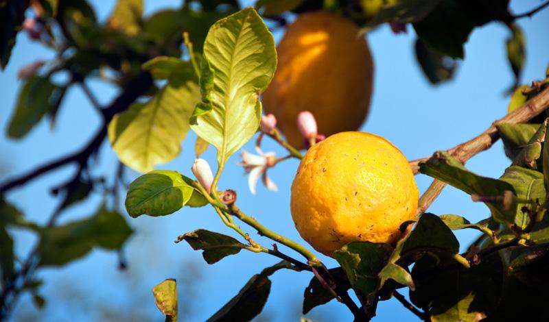 Citronträd i Monte Vinas, Manilva