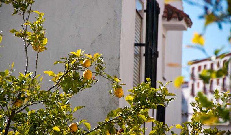 Citronträd i Monte Vinas