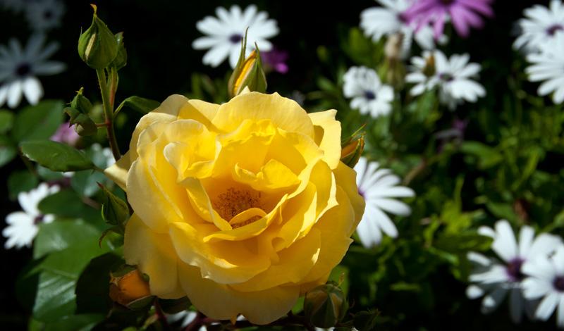 Gula rosor i trädgården, Monte Viñas