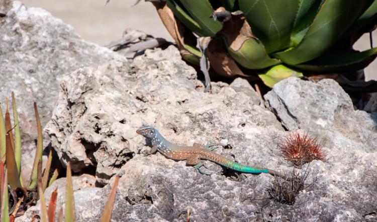 Ödla utanför Sorobon Beach Resort, Bonaire