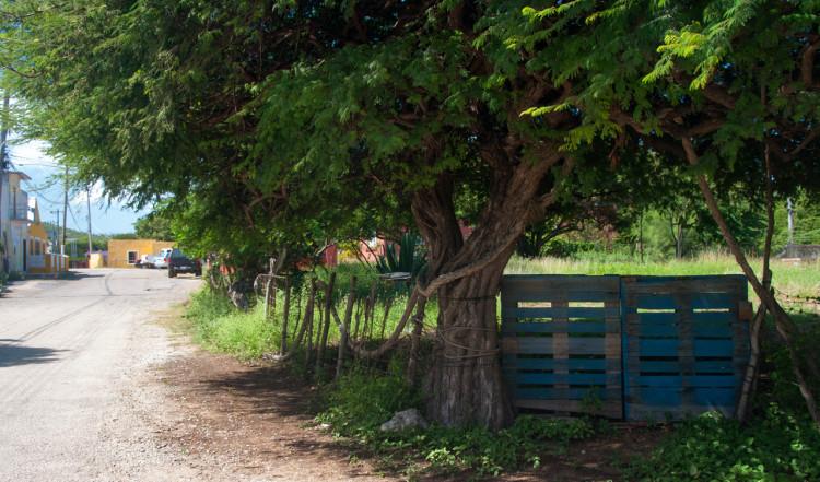 Gammalt träd vid tomtgräns, Rincon, Bonaire