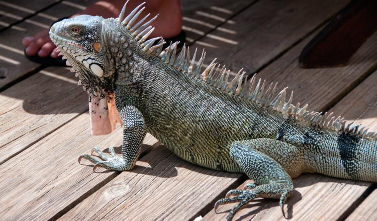 Iguana på Bahia Beach Bar, Lagoon Ocean Resort vid stranden Playa Lagun, Curaçao