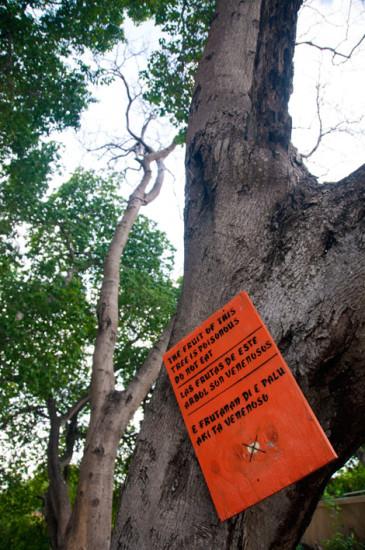 Giftiga träd på norra Curaçao