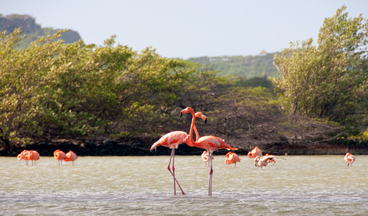 Flamingos, Curaçao