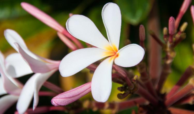 Vackra blommor, Papagayo Beach and Design Hotel, Curacao