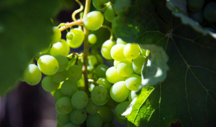 Vindruvsodlingar på Deetlefs Wine Estate, Sydafrika