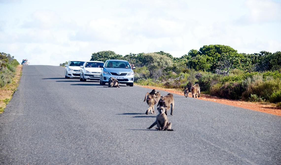 Apor på vägen stannar upp trafiken, Table Mountain National Park