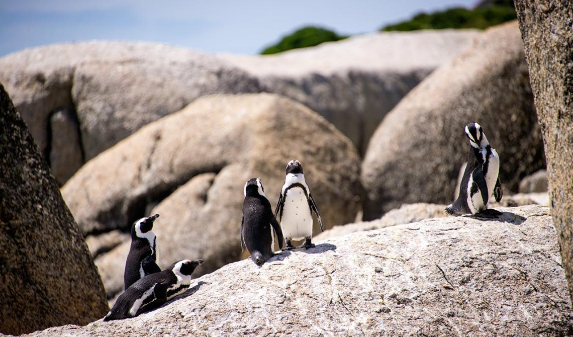 Pingviner vid Boulder Beach, Simons town