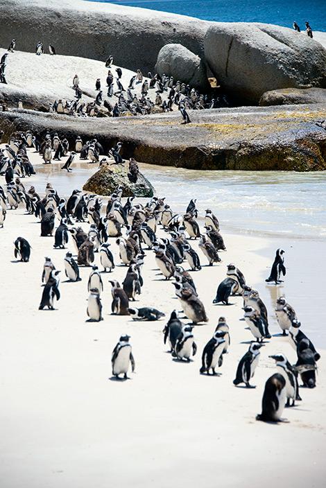 Pingviner på Boulders Beach, strand Simons town