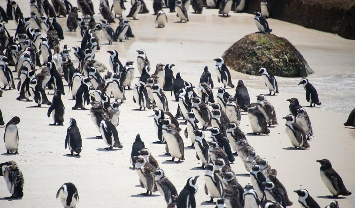 Pingviner på Boulder Beach, strand Simons town