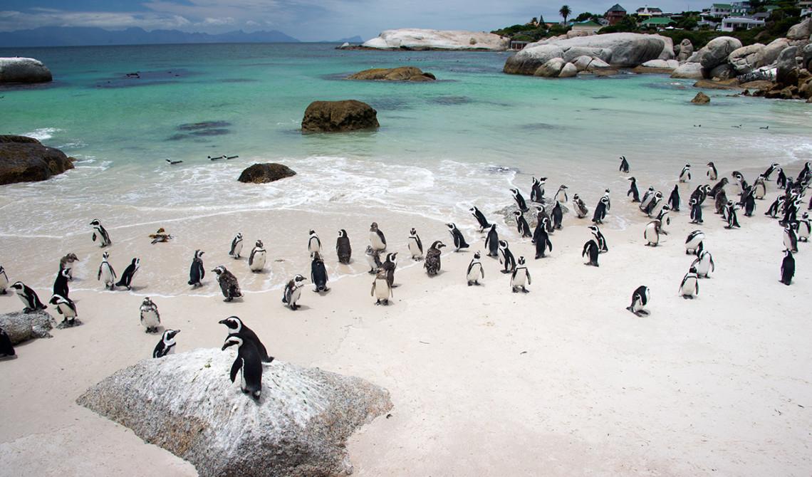 Läcker vy - Pingviner på Boulders Beach