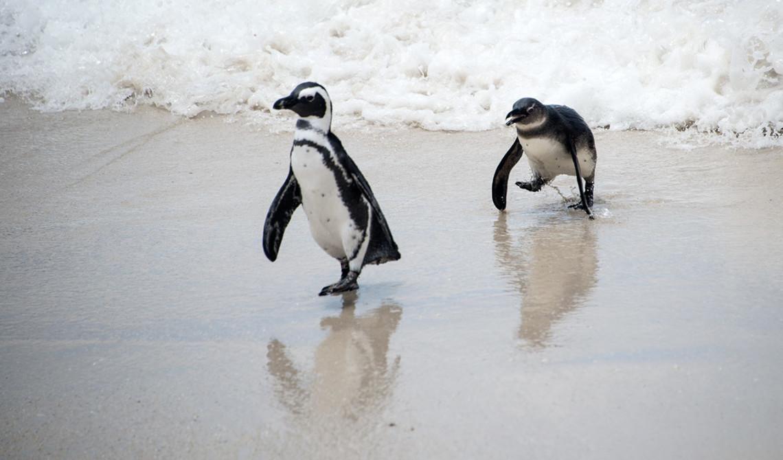 Pingviner på väg upp från vattnet, Boulders Beach, Sydafrika
