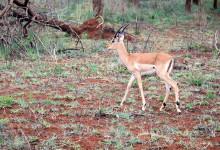 Ett av de första djuren vi såg efter vår ankomst till Thanda Private Game Reserve