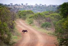 Ett vårtsvin korsar vägen, Thanda Private Game Reserve
