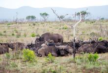 Afrikanska bufflar stirrar på oss och vi på dem. Thanda Private Game Reserve