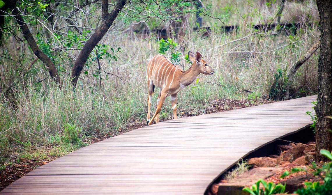 Vissa djur kan man spana in på vägen till ens boende på Thanda Private Game Reserve