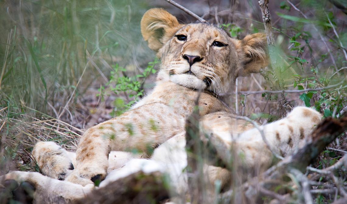 Lejon i buskarna är bland de försa djuren vi ser på eftermiddagens game drive - Thanda Private Game Reserve