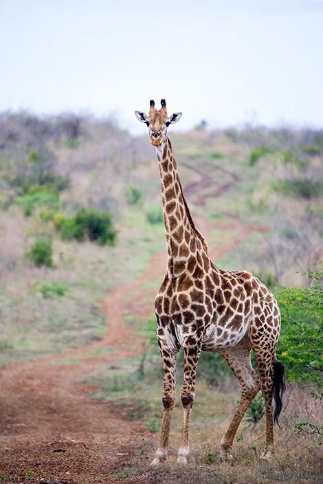 En av girafferna som passerar vägen vi kör på under eftermiddagens game drive - Thanda Private Game Reserve